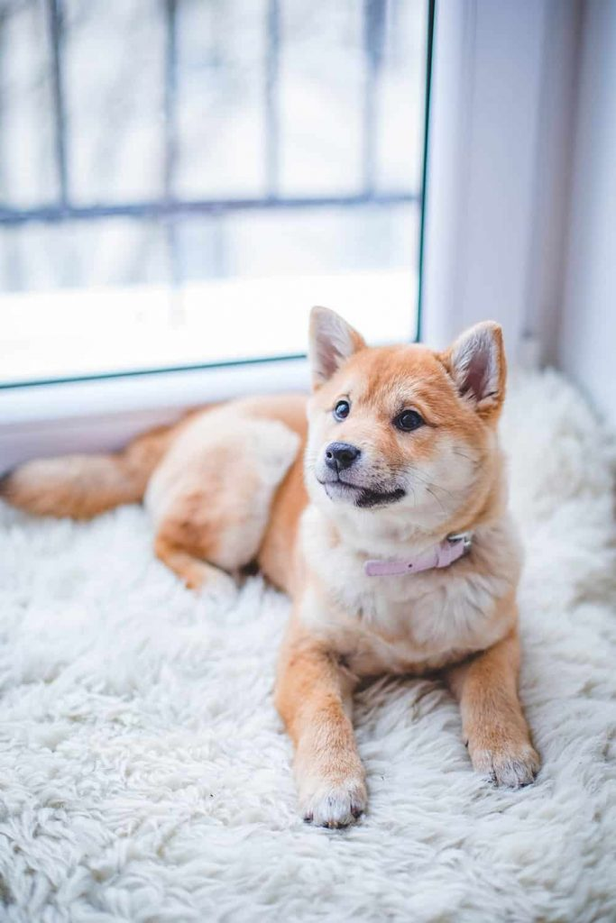 carpet for dogs